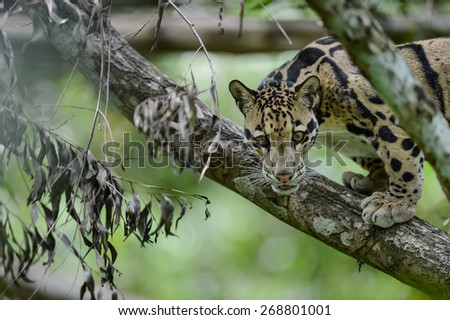 Clouded Leopard (Neofelis Nebulosa), wild cat of Thailand - stock photo