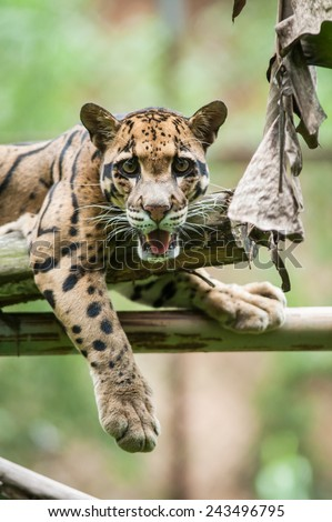 Clouded Leopard on Tree Branch - stock photo
