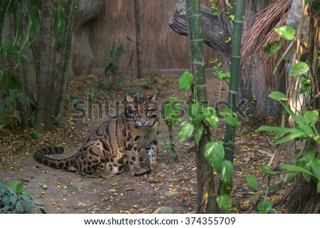 Clouded Leopard Sitting on the fake forest - stock photo