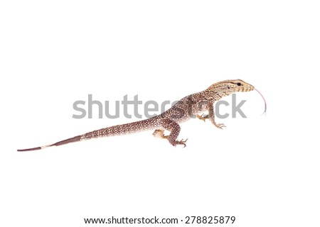 Clouded Monitor, Varanus nebulosus, on white