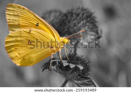 Clouded Sulphur butterfly feeding on Indian blanket flower, color spot on black and white - stock photo