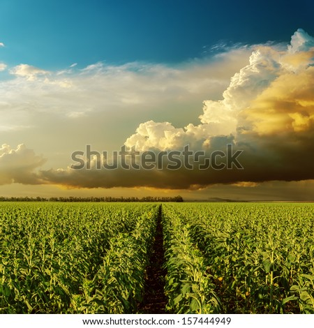 cloudy sunset over field with sunflowers - stock photo