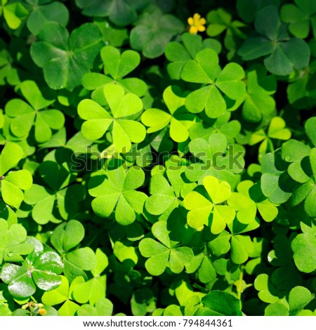 Clover little yellow flower stock photo royalty free 794844361 clover and little yellow flower mightylinksfo Choice Image