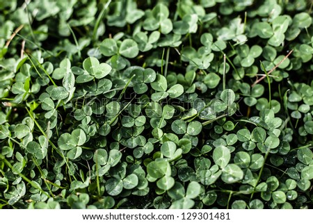 Clover background - stock photo