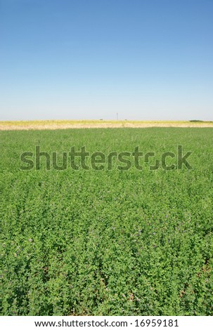 Clover field over blue sky  in summer - stock photo