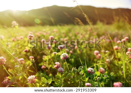 Clover field with flowers - stock photo