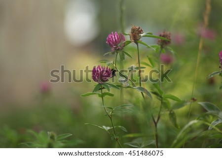 clover flowers and bumblebee - stock photo