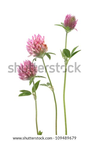 Clover flowers and leaves isolated against white - stock photo
