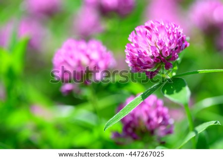 Clover Flowers Field - stock photo