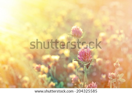 Clover in late afternoon (clower in meadow) - stock photo