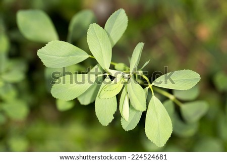 clover in nature - stock photo