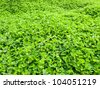 Clover is a low ground covering plant. Clover usually grows so that it it has three leaves as shown in this photo of a clover patch. - stock photo