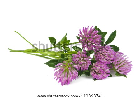 clover isolated on white background - stock photo