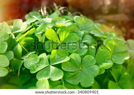 Clover - leaves of clover - stock photo