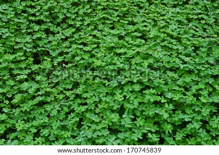 Clover plant with rain drops winter background. Nature abstract. - stock photo
