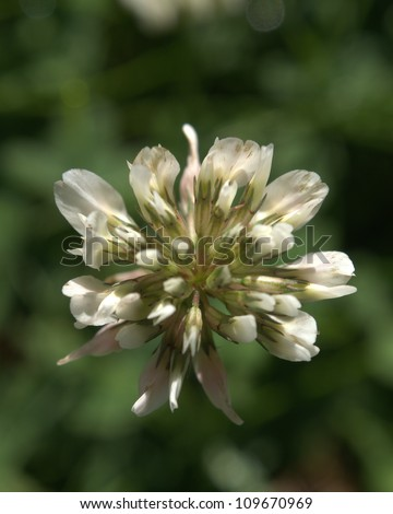 Clover (Trifolium), or trefoil flower, northern Canadian Prairies, near Edmonton, Alberta - stock photo