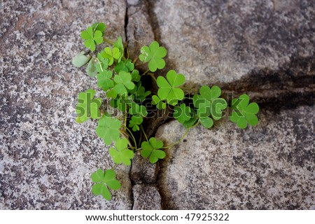 Clovers growing from rock cracks - stock photo