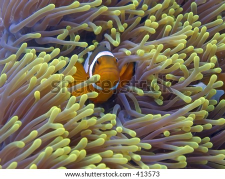 Clown anemone fish in Malaysian waters off Perhentian Island - stock photo