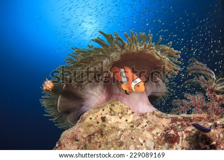 Clown Anemonefish and anemone on coral reef - stock photo
