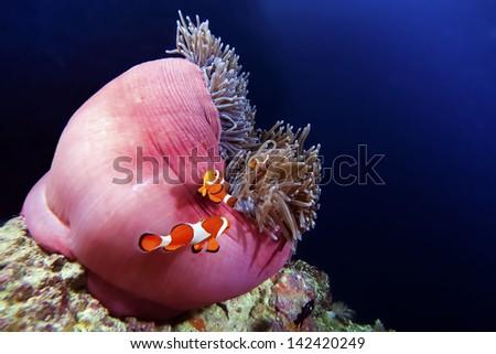 clown anemonefish in anemone - stock photo