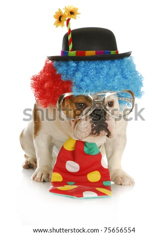 clown - english bulldog wearing clown costume with glasses on white background - stock photo
