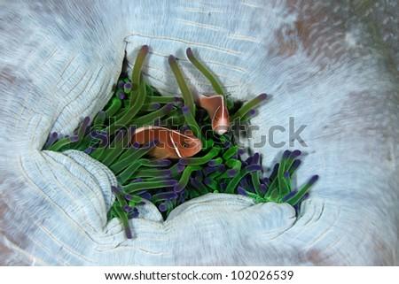 Clown fish, Amphiprion perideraion, hiding in host sea anemone Heteractis magnifica - stock photo