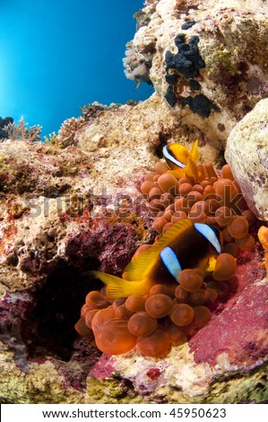 Clown fish and anemone, Red Sea, Egypt, Sinai