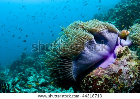 Clown fish and purple anemone, Indian ocean, Maldives