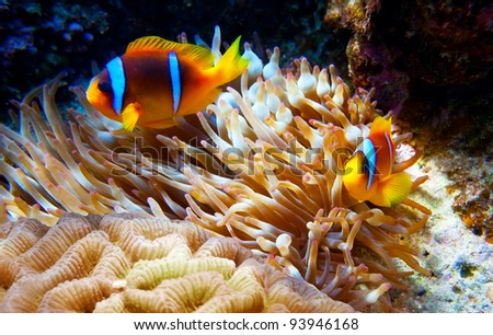 Clown fish hiding in its anemone - stock photo