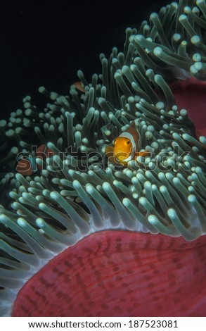 Clown fish hiding in the host anemone for protection. - stock photo