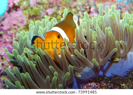 Clown Fish in Anemone Aquarium - stock photo