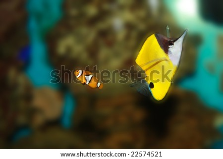Clown fish in aquarium - stock photo