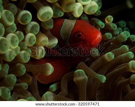 Clown fish in it's element - stock photo