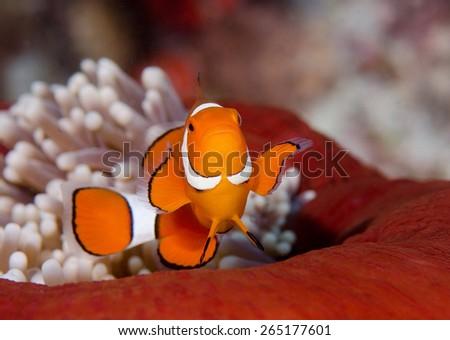Clown Fish in red anemone, Wakatobi, Indonesia - stock photo