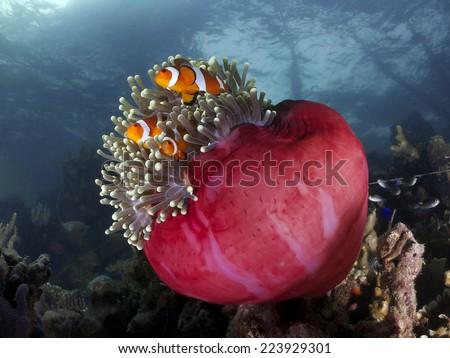 Clown fish little sweet home under the bridge   - stock photo