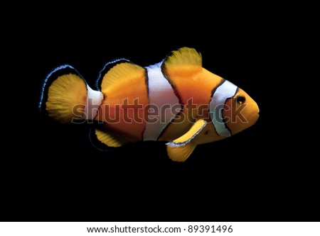 clown fish on black background - stock photo
