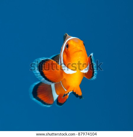 clown fish or anemone fish on blue background - stock photo