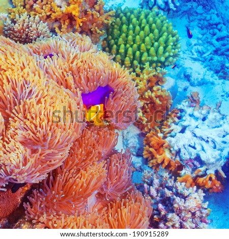 Clown fish swimming near colorful corals, abstract natural background, beautiful wildlife, wonderful nature of Indian ocean - stock photo