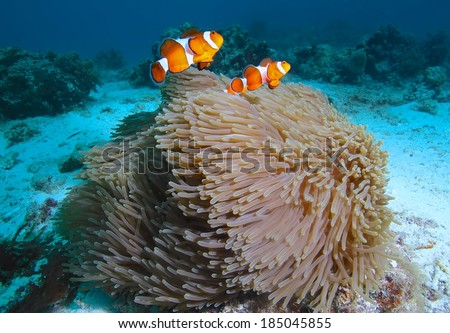 clown fishes in anemone/clown fish/marine life - stock photo