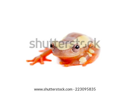 Clown Frog, Dendropsophus leucophyllatus, isolated on white
