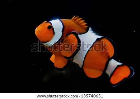 Clown red fish in the black background - stock photo