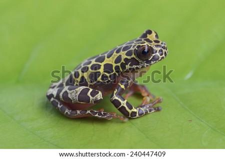 Clown tree frog giraffe morph (Dendropsophus triangulum)  - stock photo