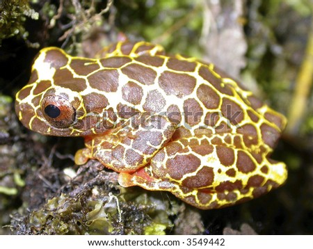 clown treefrog (Dendropsophus leucophyllatus) - stock photo