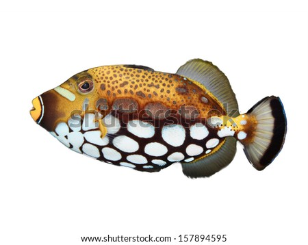 Clown Trigger Fish isolated on white - stock photo