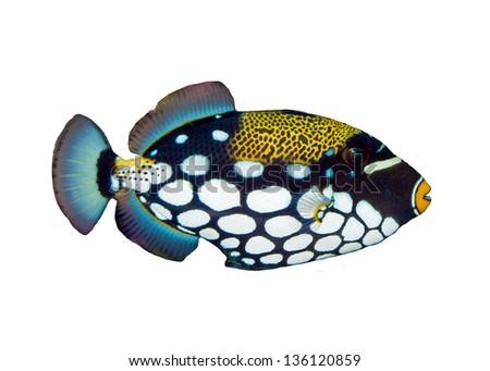 Clown Triggerfish (Balistoides conspicillum) in Aquarium - stock photo
