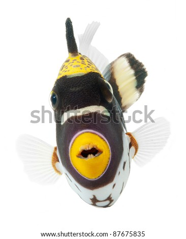 clown triggerfish, reef fish, isolated on white background - stock photo