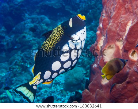Clown Triggerfish , sponge and butterfly fish on a coral reef at Bunaken, Indonesia