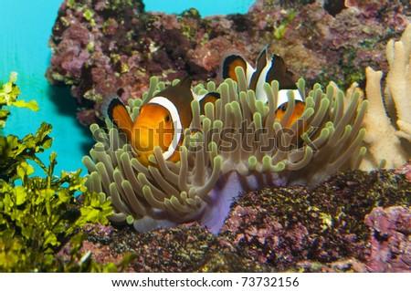 Clownfish (Amphirion ocellaris) pair in Coral Anemone - stock photo