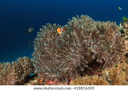 Clownfish and Sea Anemone - stock photo
