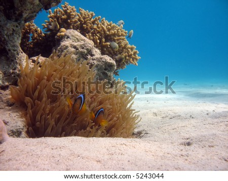 Clownfish and Sea Anemone. shot in the Red Sea - stock photo